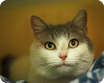 Domestic Shorthair Cat for adoption in Parma, Ohio - Cali