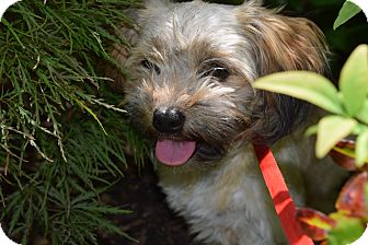Lhasa Apso/Shih Tzu Mix Dog for adoption in Memphis, Tennessee - PINATA