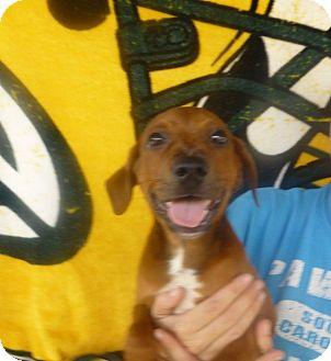 Labrador Retriever Mix Puppy for adoption in Oviedo, Florida - Akela