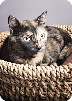 Domestic Shorthair Cat for adoption in Detroit Lakes, Minnesota - Medusa