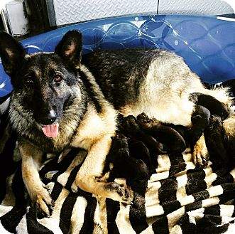 German Shepherd Dog Puppy for adoption in Santa Monica, California - Males in Litter