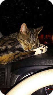 American Shorthair Kitten for adoption in Sumter, South Carolina - Kate