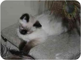 Siamese Kitten for adoption in Muskegon, Michigan - MICHELLE
