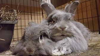 Lionhead for adoption in Holbrook, New York - Ruth & Pierce