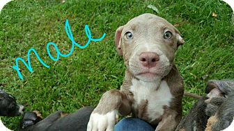 American Staffordshire Terrier Mix Puppy for adoption in Wilwaukee, Wisconsin - A - PUPPIES