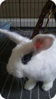 Lop, Holland Mix for adoption in Waynesboro, Virginia - Baxter
