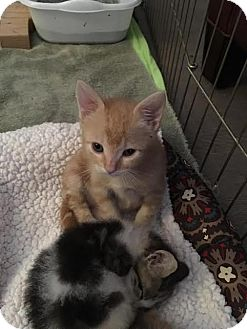 Domestic Shorthair Kitten for adoption in Westminster, California - Beau