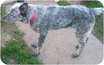 Australian Cattle Dog Puppy for adoption in Lamar, Nebraska - Venus