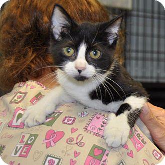 Domestic Shorthair Kitten for adoption in Sunrise Beach, Missouri - Vinny