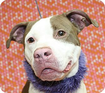 Pit Bull Terrier Mix Dog for adoption in Jackson, Michigan - Heidi
