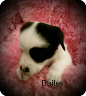 Wirehaired Fox Terrier Mix Puppy for adoption in San Antonio, Texas - Bailey