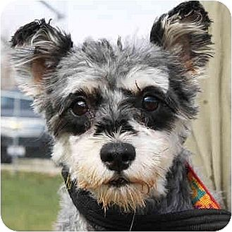 Miniature Schnauzer Mix Dog for adoption in Huntley, Illinois - America