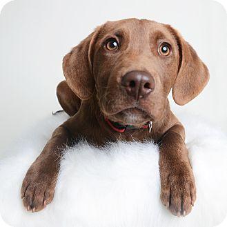 Labrador Retriever/Chesapeake Bay Retriever Mix Puppy for adoption in Wilmington, Delaware - Chestnut