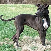 American Pit Bull Terrier Mix Dog for adoption in Batavia, Ohio - Annie