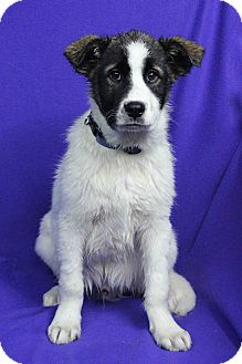 St. Bernard Mix Puppy for adoption in Westminster, Colorado - PETER