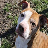Adopt A Pet :: GIXXER - Decatur, IL