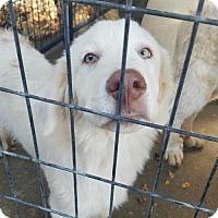 Adopt A Pet :: Laine - Sunnyvale, CA