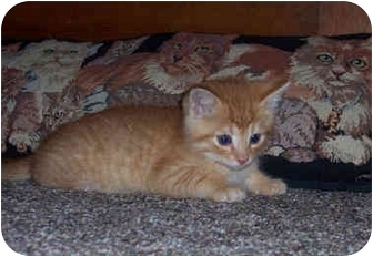 Domestic Shorthair Kitten for adoption in Brighton, Michigan - Peter