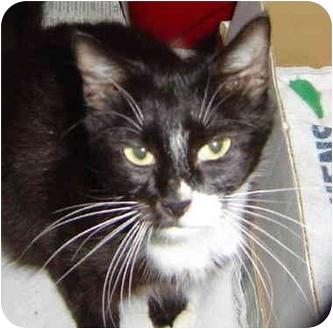 Domestic Mediumhair Cat for adoption in Montevallo, Alabama - Tess