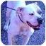 Photo 2 - American Bulldog Dog for adoption in Austin, Texas - Buffy