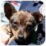 Photo 2 - Chihuahua Mix Puppy for adoption in Phoenix, Oregon - Wiggles