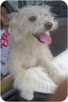Maltese/Cairn Terrier Mix Dog for adoption in Long Beach, California - Kylie