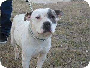 American Staffordshire Terrier/Boxer Mix Dog for adoption in Bakersfield, California - Eirene