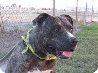 American Pit Bull Terrier/American Bulldog Mix Dog for adoption in Sacramento, California - Tiger - URGENT