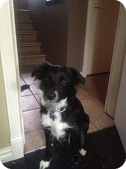 Border Collie/Border Collie Mix Dog for adoption in Chilliwack, British Columbia - LILLY