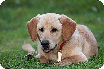 Golden Retriever/Corgi Mix Dog for adoption in Franklinville, New Jersey - Tony