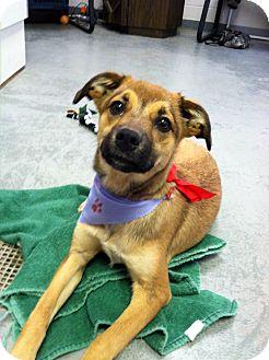 Shepherd (Unknown Type)/Pug Mix Dog for adoption in Fort Riley, Kansas - Tania