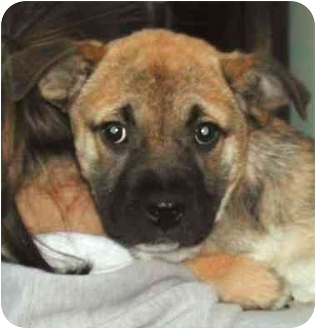 Boxer/German Shepherd Dog Mix Puppy for adoption in Rolling Hills Estates, California - Precious