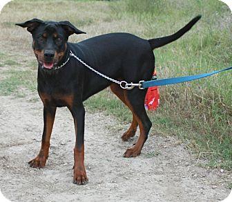 Doberman Pinscher Mix Dog for adoption in Everman, Texas - Autumn