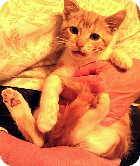 Domestic Shorthair Kitten for adoption in Cincinnati, Ohio - Midas: $25