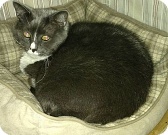 Domestic Shorthair Cat for adoption in Weare, New Hampshire - Mrs. Grey