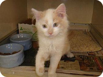 Domestic Longhair Kitten for adoption in Lenexa, Kansas - Oden