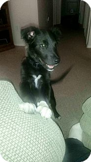 Border Collie Mix Puppy for adoption in Meridian, Idaho - Jackson