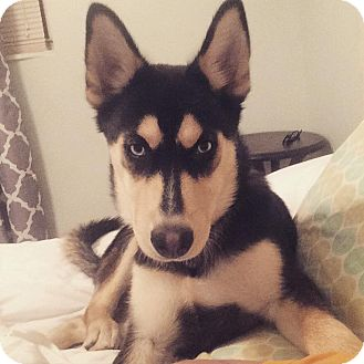 German Shepherd Dog/Husky Mix Puppy for adoption in Portland, Maine - Willow (Fostered in ME)