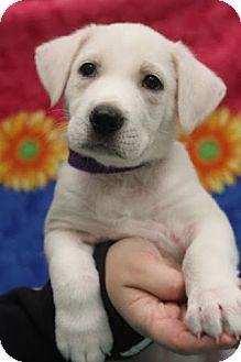 Labrador Retriever/Shepherd (Unknown Type) Mix Puppy for adoption in Allentown, Pennsylvania - Kolbi