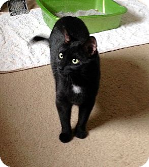 Domestic Shorthair Cat for adoption in Colmar, Pennsylvania - Midnight