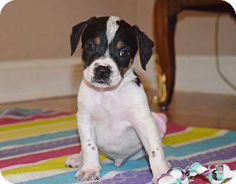 Beagle Mix Puppy for adoption in Harrisburg, Pennsylvania - ELLIOT