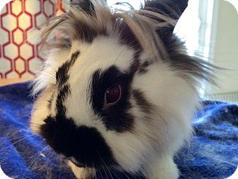 Lionhead Mix for adoption in Waynesboro, Virginia - Finnegan