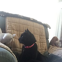 Adopt A Pet :: Snowball - Harbor City, CA