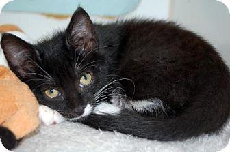 Domestic Shorthair Kitten for adoption in Bradenton, Florida - Inky