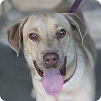 Adopt A Pet :: Shortstop - Canoga Park, CA