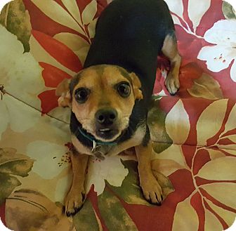 Chihuahua/Dachshund Mix Dog for adoption in Chattanooga, Tennessee - Priscilla