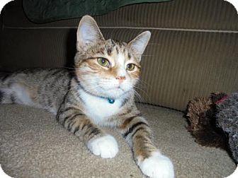 Domestic Shorthair Kitten for adoption in Livonia, Michigan - C15 Litter-Clefairy (PSP)-ADOPTION PENDING
