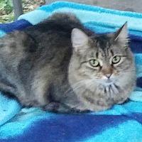 Adopt A Pet :: Fluff - Centerton, AR
