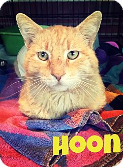 Domestic Shorthair Cat for adoption in Franklin, Indiana - Hoon