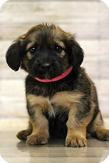 Spaniel (Unknown Type) Mix Puppy for adoption in Waldorf, Maryland - Krabby